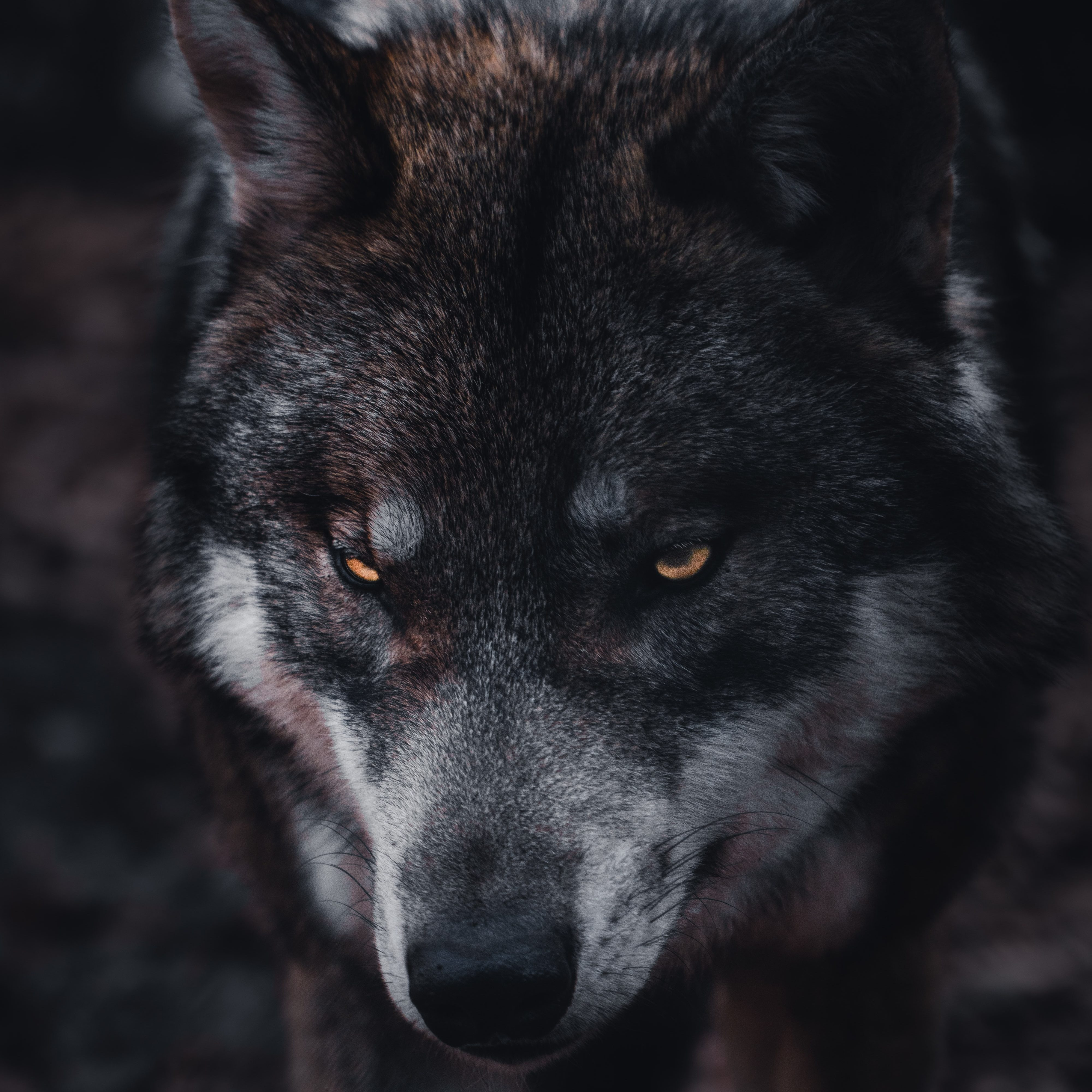 A wolf with yellow eyes glares on, their hunched shoulders and tilted snout giving the indication that they are growling.